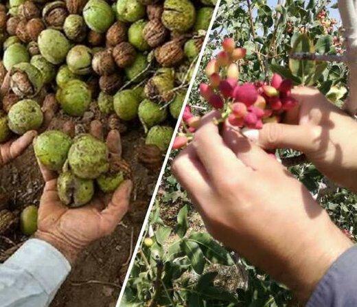 برداشت محصول پسته و گردو در شهرستان البرز آغاز شد