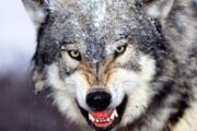 ببینید | ماجرای حمله یک گرگ زخمی به امدادگر کوهستان و کشتی گرفتن با او!