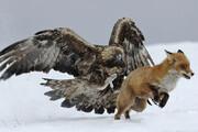 ببینید | آموزش عقاب تیز چنگال برای شکار روباه به دستور انسان!