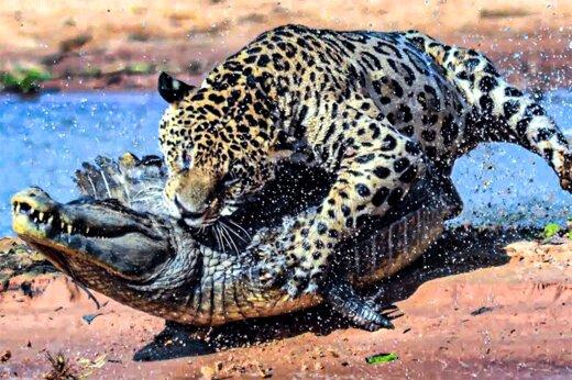 ببینید | تصویری حیرتانگیز و نادر از شکار شدن یک تمساح توسط دو پلنگ!