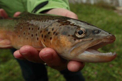 ببینید | اعتیاد عجیب ماهیهای قزلآلا در جمهوری چک به «شیشه»