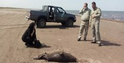 کشف لاشه دو جانور کمیاب در سواحل گیلان/ عکس