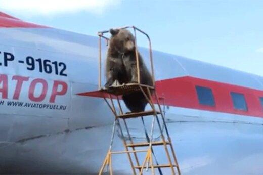 ببینید | حضور جالب یک خرس در فرودگاه روسیه برای سوار شدن در هواپیما