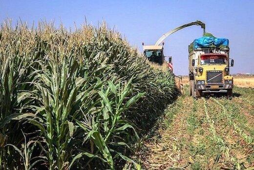 برداشت ذرت علوفهای از مزارع کشاورزی قزوین آغاز شد