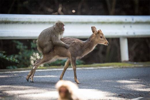 ببینید | عجیبترین قاب حیات وحش؛ سواری گرفتن میمون از یک آهو