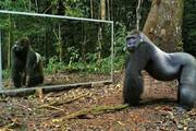 ببینید | واکنش دیدنی و خندهدار حیوانات به نصب آینه در جنگل و رویارویی با خودشان