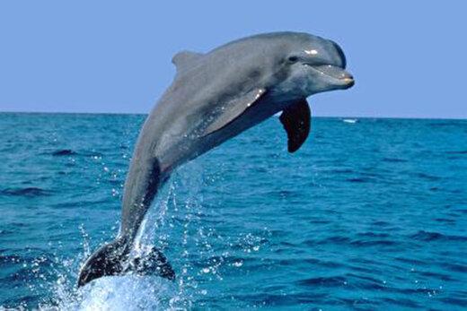 ببینید   لحظه رعبانگیز فرار دلفینها از دست نهنگهای قاتل
