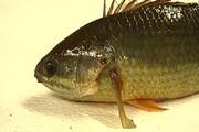 ببینید | شیوه مبتکرانه و خندهدار صید ماهیهای گوشتخوار