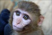 ببینید | ترفند خندهدار یک میمون برای سواری گرفتن از یک قوچ