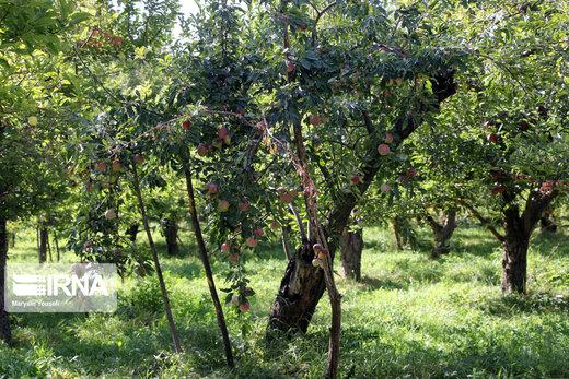 برداشت سیب پاییزه در آذربایجان شرقی