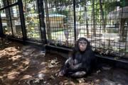ببینید |  واکنش خندهدار یک شامپانزه به تقلید رفتارش توسط یک انسان
