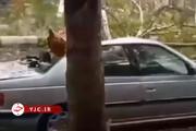 ببینید |  لحظه سقوط درخت بر روی پژو پارس در گرگان