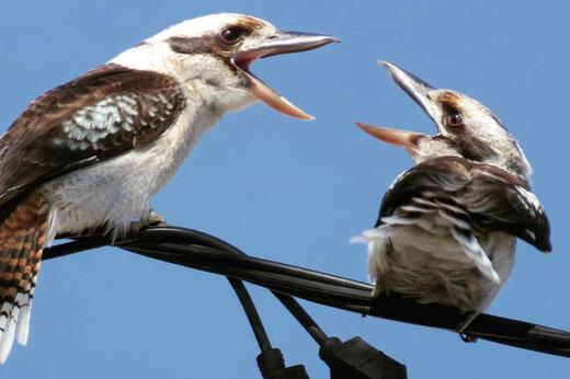 ببینید | مبارزه جانانه دو پرنده بر سر شکار یک مارمولک نگونبخت!