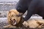 ببینید | مبارزه رعبانگیز شیر و خرس؛ زورآزمایی بزرگ برای پادشاهی!