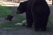 ببینید | رویارویی عجیب یک خرس قویهیکل با یگ گربه و نتیجهای شگفتانگیز!