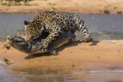 ببینید | تاکتیک و غواصی حیرتانگیز یک پلنگ برای شکار یک تمساح
