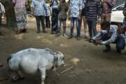 ببینید | کوتاهترین گاو جهان که در بنگلادش به شهرت رسید