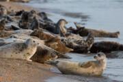 فک خزری در آستانه انقراض/ امسال ۱۴ لاشه فک کشف شد