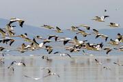 ببینید | فرود نخستین گروه پرندگان مهاجر در تالاب بینالمللی میانکاله