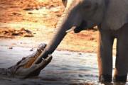 ببینید | دفاع جانانه فیلها به یک تمساح مهاجم؛ حمله ناکام