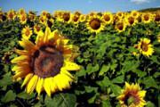 ببینید | نحوه جالب جداسازی تخمه از گل آفتابگردان