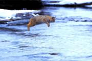 ببینید | جهش حیرتانگیز یک گربه بر فراز یک رودخانه