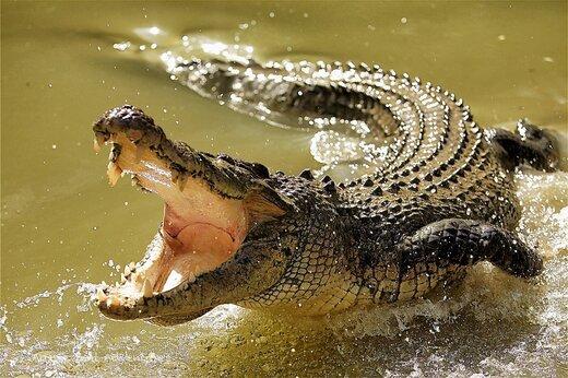 ببینید   لحظه عجیب حمله یک تمساح به پهپاد یک مستندساز استرالیایی