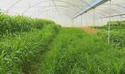تولید علوفه گلخانهای در یزد برای اولین بار در کشور