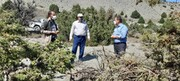 گیاه نیمه انگل ارس واش تهدید جدی  برای درختان ارس استان سمنان