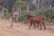 ببینید   نبرد عجیب یک کانگورو با رقیبی غیرمعمول و درشت هیکل!