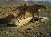 ببینید | جدیدترین تصاویر از یوزپلنگ مادر و تولههایش در پارک ملی توران