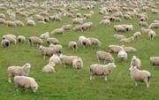 استفاده از سایت دام کالا جهت خرید گوسفند زنده