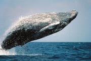 ببینید | تصاویری دیدنی از نهنگ کمیاب «براید» در خلیج فارس